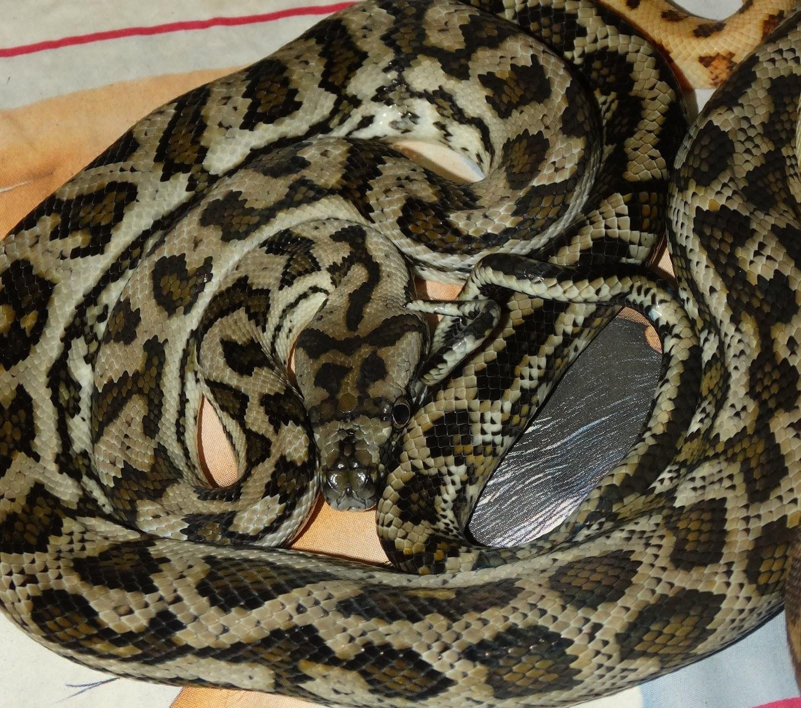 Reptiles Amphibians & Fish: JAGUARS AND JAGGIES CARPET ...