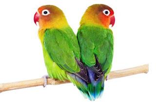 Burung Lovebird - Perbedaan Jantan dan Betina Burung Lovebrid - Penangkaran Burung Lovebird