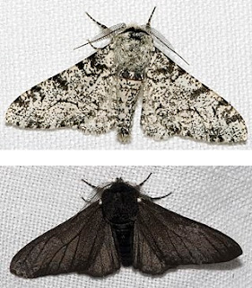Although refuted, evolutionists pretend the peppered moth story supports evolution. New research makes it even less credible and supports creation science.