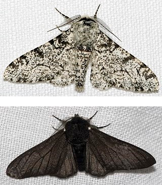 Peppered moth evolution was never real, and has been further shown to be fake news