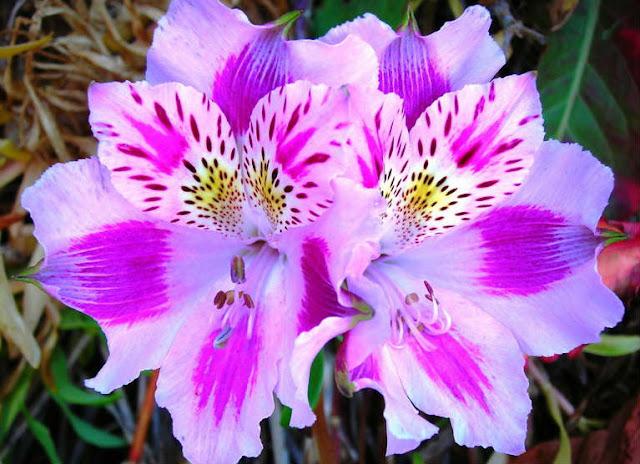 Flowering Petals Alstroemeria