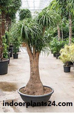 BEAUCARNEA RECURVATA indoor plant image