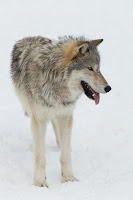 A gray wolf standing in the snow