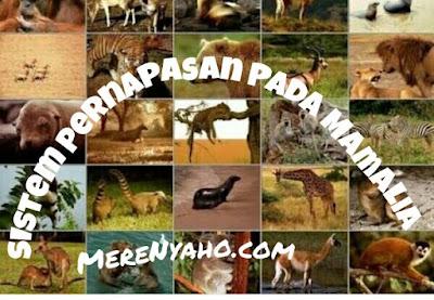 Sistem Pernapasan Pada MAMALIA, Respirasi pada mamalia.