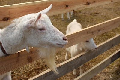 Reduce Odor In Cages In Goat Business Opportunity