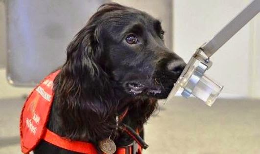 Dogs 'Sniff Out' Prostate Cancer