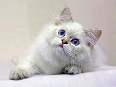 blue-eyes-white-grey-cat-imgss