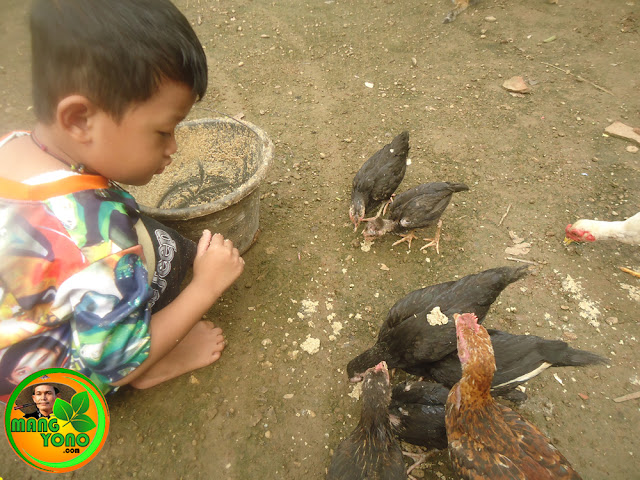Gigin penyayang ayam kampung