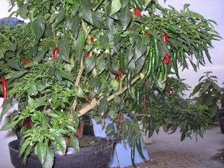 http://infomasihariini.blogspot.com/2016/03/cara-menanam-cabe-organik-dalam-pot.html