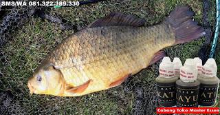 Umpan Untuk Ikan Mas Master Essen Katilayu