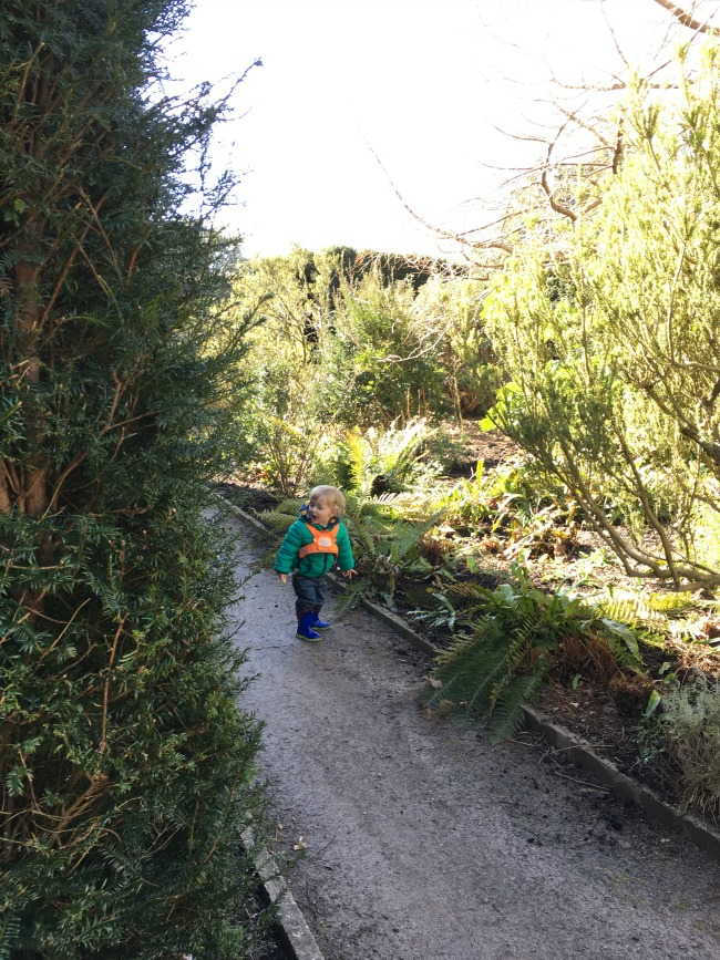toddler on path between a hedge and a border looking amazed