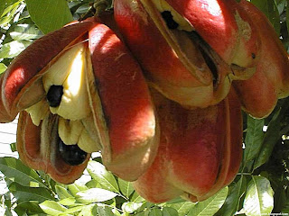 Ackee berry fruit images wallpaper