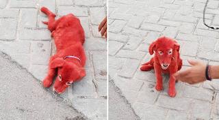 Βοιωτία: Ασυνείδητοι έβαψαν με κόκκινη μπογιά 3 μηνών κουταβάκι