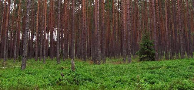 Bosque de coniferas y biologia