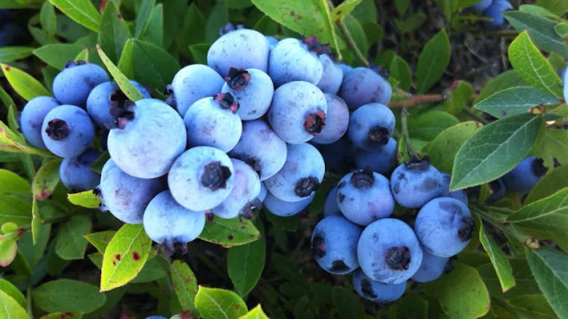blue berries in hindi