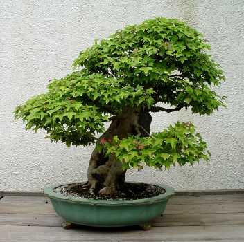 ficus benjamina basic care of bonsai. Black Bedroom Furniture Sets. Home Design Ideas