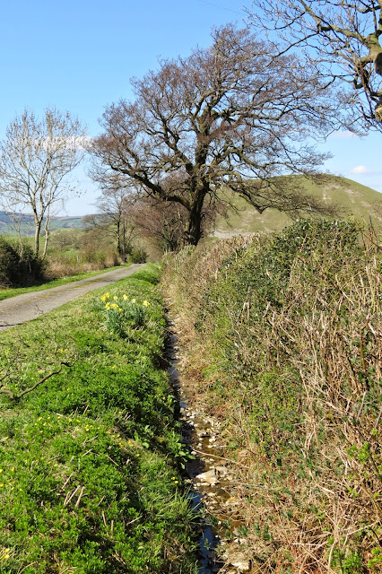 A view along a quiet lane, with daffodils on the verge. The hedgerow and trees are still without leaves.