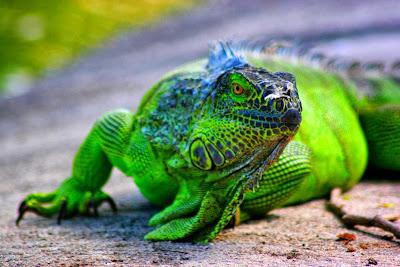 Resultado de imagem para camaleão