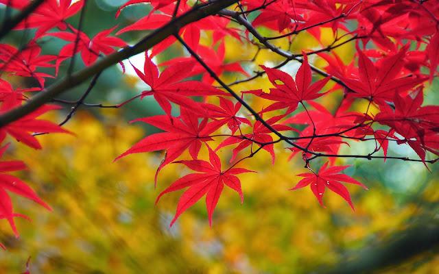 Tak met rode herfstbladeren