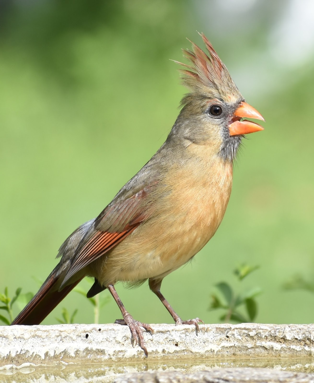 Picture of a female cardinal bird sing.