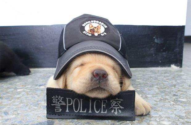 Nối tiếp nghiệp bố, 5 chú chó nhỏ còn ngái ngủ nhưng đã tham gia lực lượng cảnh sát