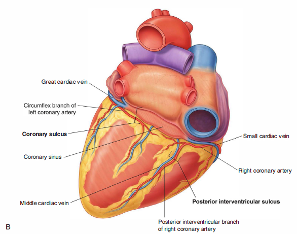Anterior Interventricular Sulcus on appendicitis location diagram