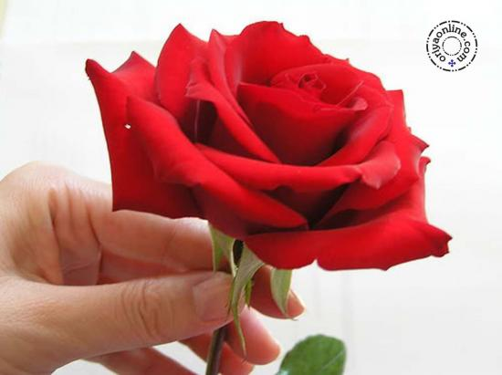 Valentine Week Few Special Days To Hangout With Your Love 7th To 14 Th Propose Your Girl On Rose Day 2021 Offering Red Rose