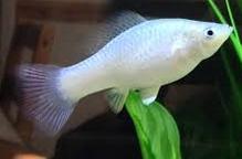 Jenis Ikan Hias Air Tawar Yang Mudah Dipelihara ikan molly