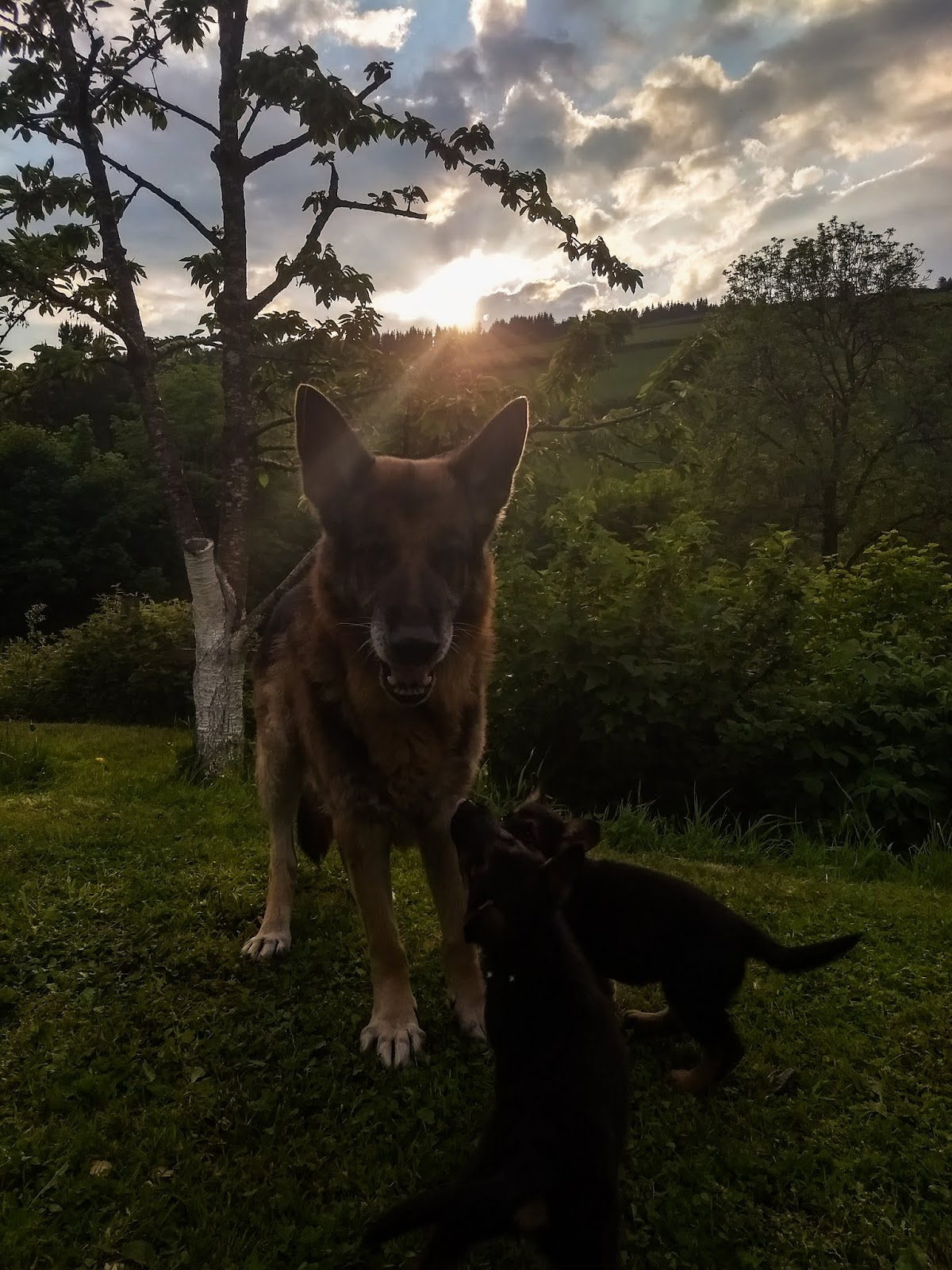 A German Shepherd dad playing with two puppies at sunset.