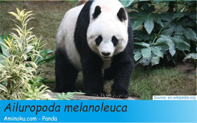 Fakta unik panda