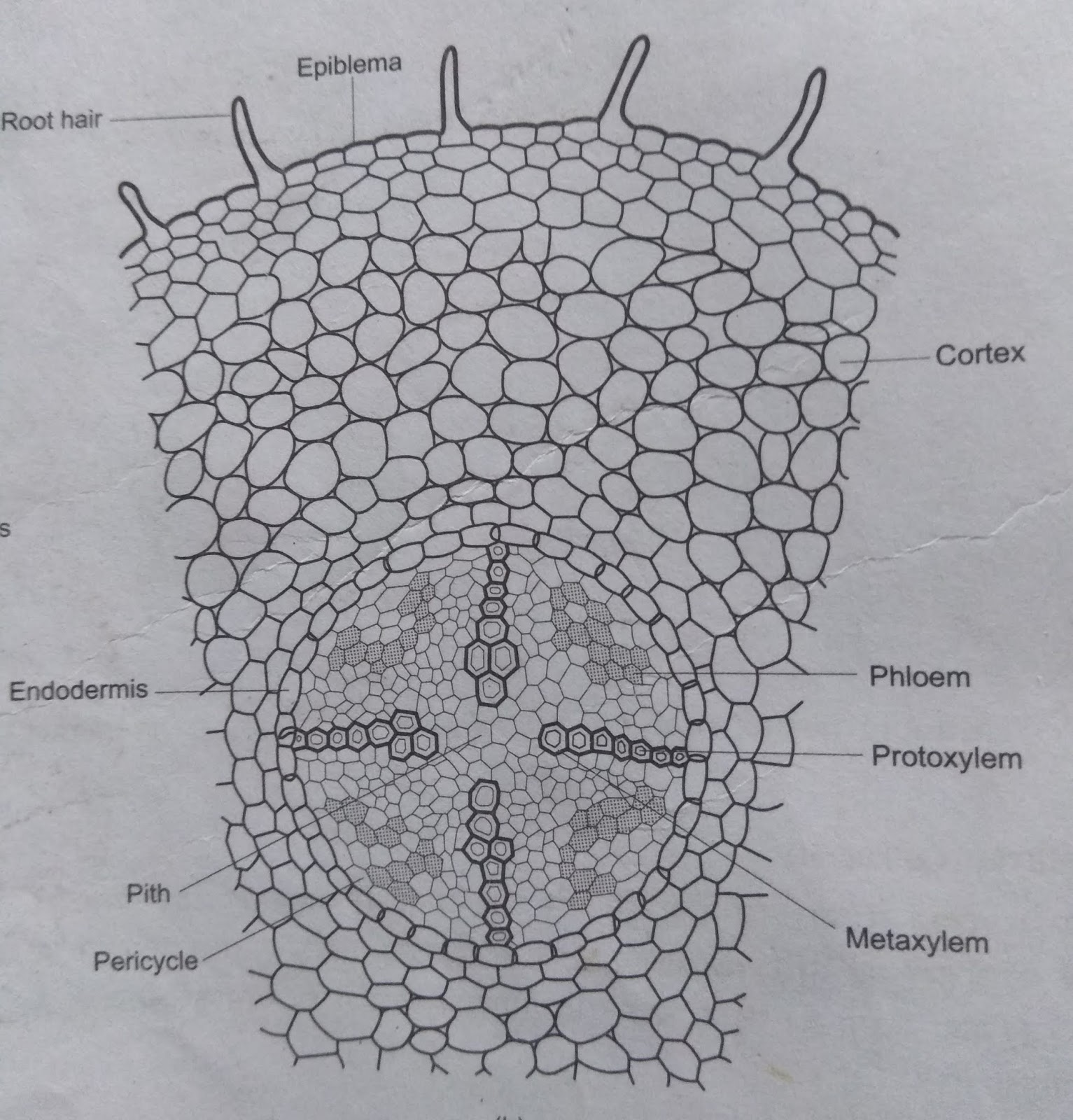 Plant Tissues Types Structure Functions Xylem And