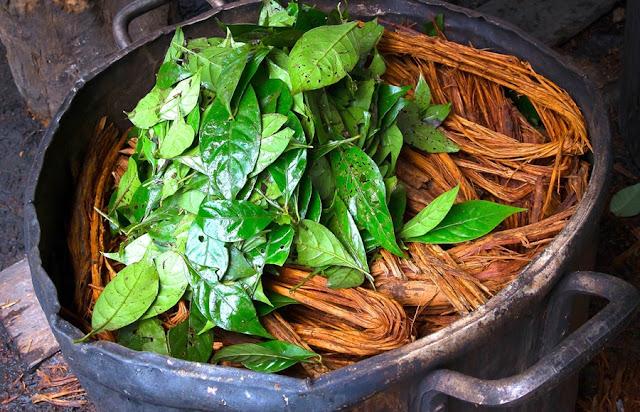 Ayahuasca é uma antiga planta medicinal psicadélica que tem sido utilizada pelos xamãs da América do Sul durante séculos