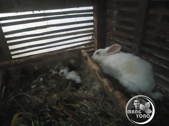 Kelinci bisa mengandung 5 kali dalam setahun. Foto jepretan pada kelinci admin yang beranak 5 ekor umur 3 minggu
