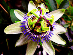 Passiflora...a flower that follow the Sun