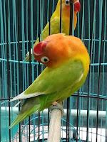 lovebird paud ngekek panjang