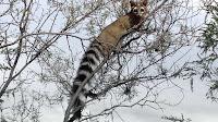 Ringtail cat pictures_Bassariscus astutus