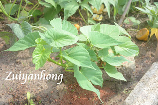 Sweet Potato Plant