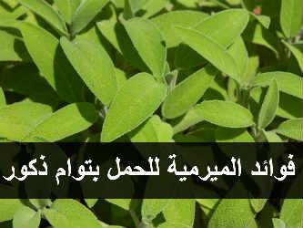 الميرمية للحمل بتوام ذكر