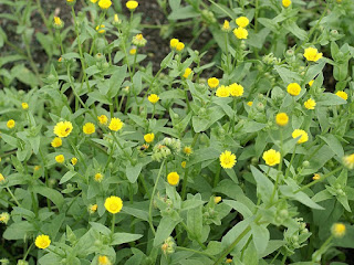 Souci des champs - Calendula arvensis - Souci sauvage