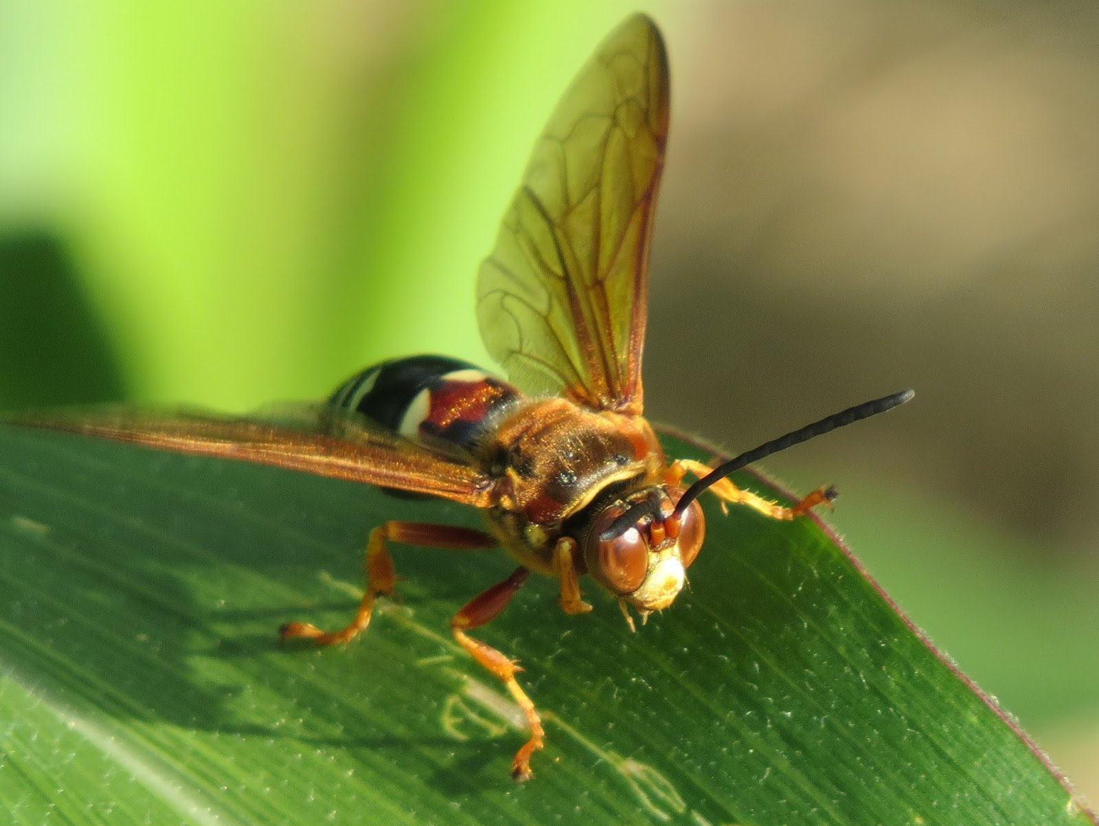 how to get rid of cicada killers cooper pest - HD1600×1202