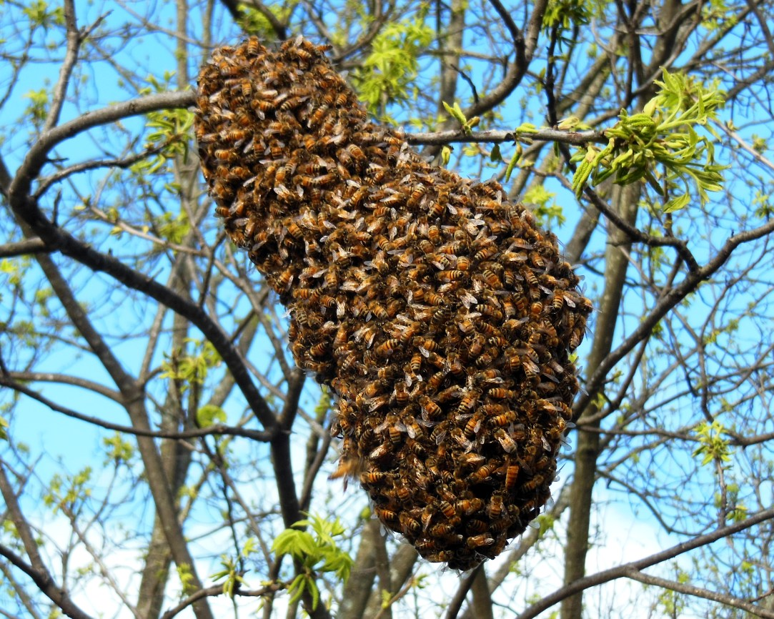 the peace bee farmer swarm season