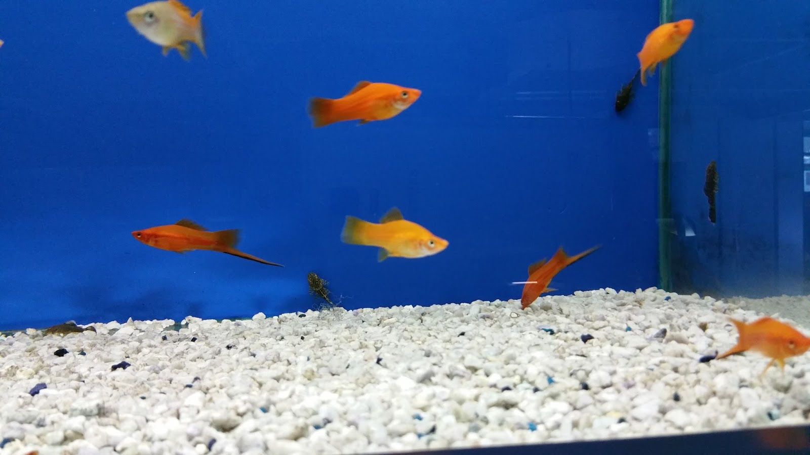 Acquario con pesci tropicali d acqua dolce idee per for Acquari nuovi in offerta