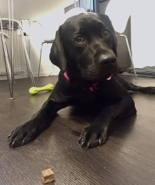 Laxgodis hund labrador Siri