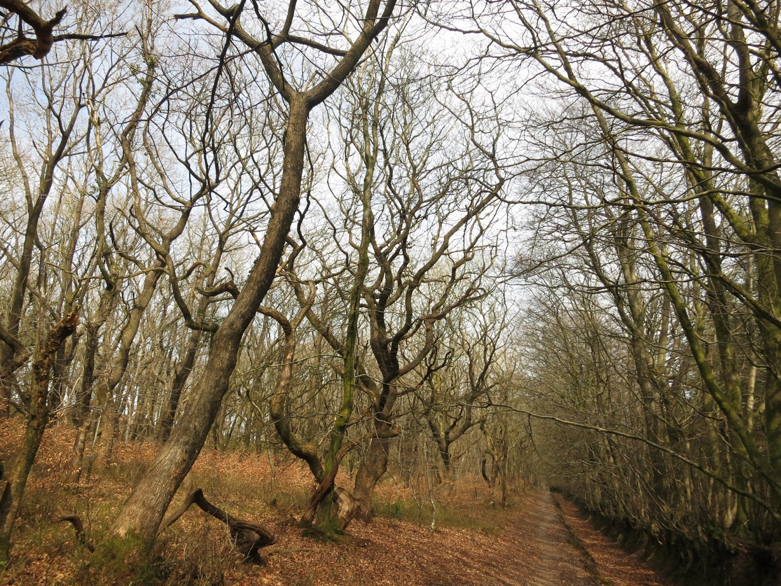 Beech lined path on Quantock Ridgeway. Trees bare because it's April.