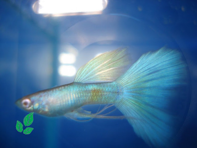 Jenis Ikan GUppy Blue Moscow
