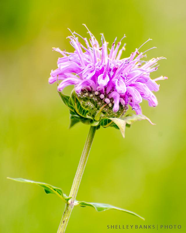 Prairie Wildflowers: Western Wild Bergamot: Bee Balm, Monarda