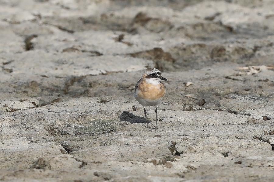 Lesser Sand Plover