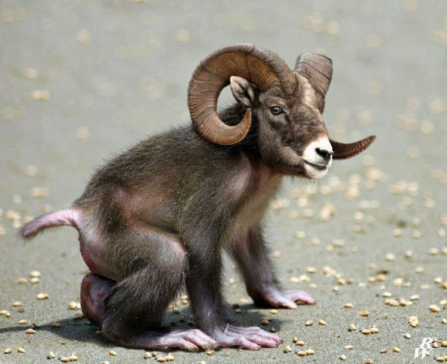 16-Monkey-and-Bighorn-Sheep-Rob-Westdorp-www-designstack-co