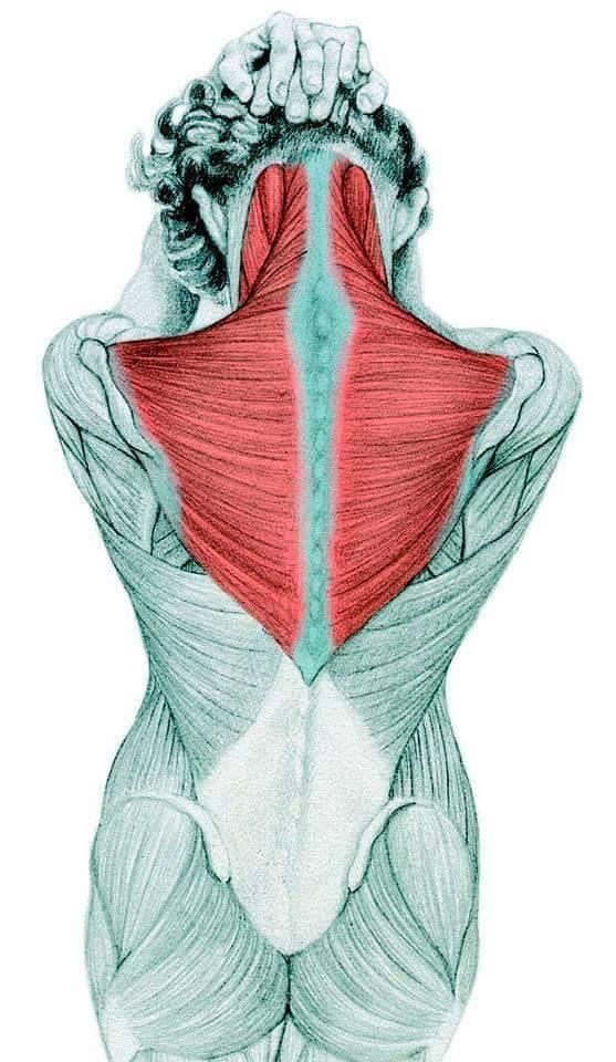 daftar otot punggung