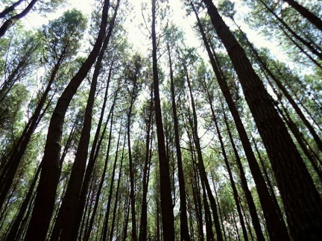 Nikmati Romantisnya Wisata Hutan Pinus Mangunan di Desa Dlingo - Yogyakarta